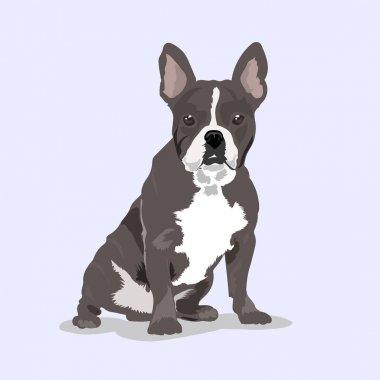 pug grey dog at the light background