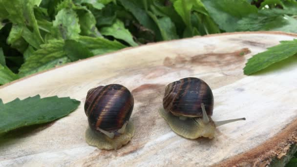 Two big brown snail crawling on the stump