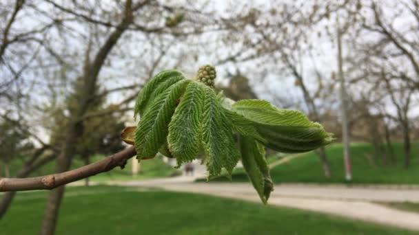 Zelená kaštan pupeny na jaře