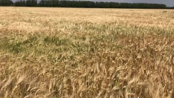 Ripe ears of wheat on a summer day