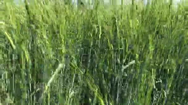 Zelený uši pšenice, zemědělský pozemek