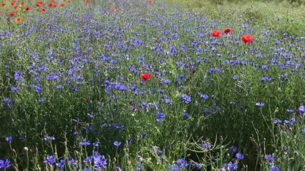Field with blue cornflowers and poppies