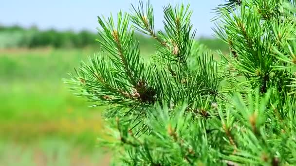 Green branch of a pine tree