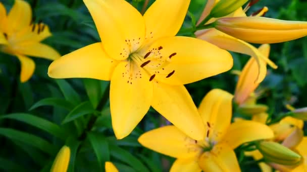 kvetoucí žlutá lilie