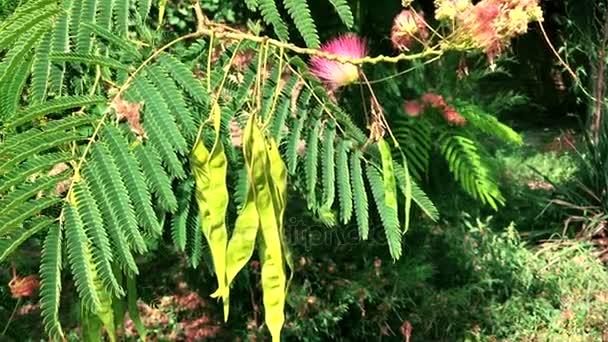 větve stromu a lusky s plody Staphylea Pinnata