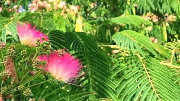 růžové květy Staphylea Pinnata