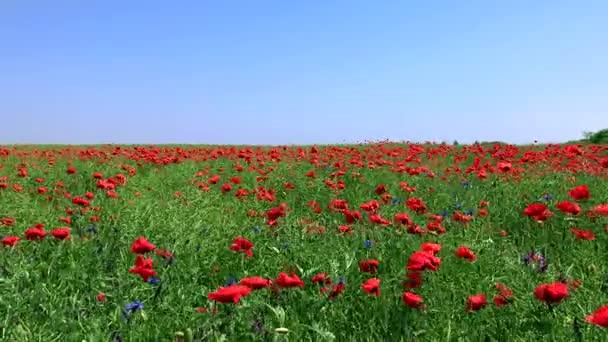 mező, virágos piros Pipacsok és zöld szárak