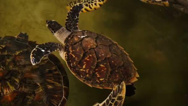 Velká želva, koupání v bazénu u želv na Srí Lance