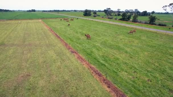 Working yellow farm aerials with camels from birds-eye