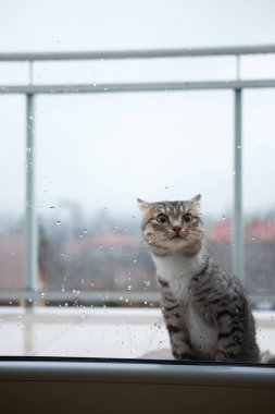 Cat gets chilly outside of window on a balcony due to cold rainy weather and begs getting inside.