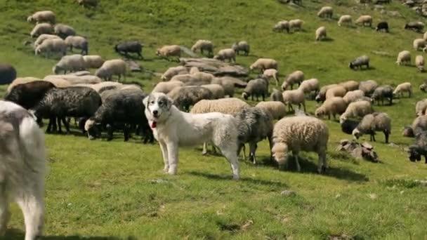 Hunde bewachen die Schafherde