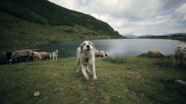 Slow motion. Barking of cute alpine dog guarding the flock of sheep