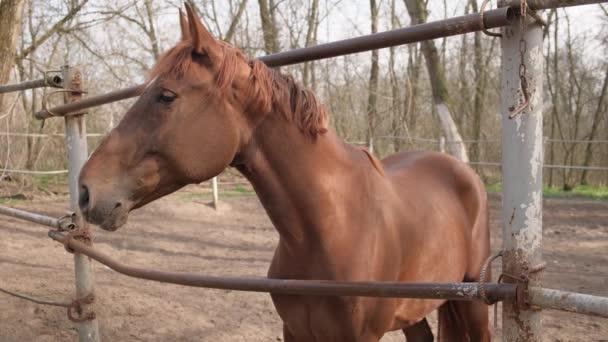 barna ló a farmon. karámló szabadtéri