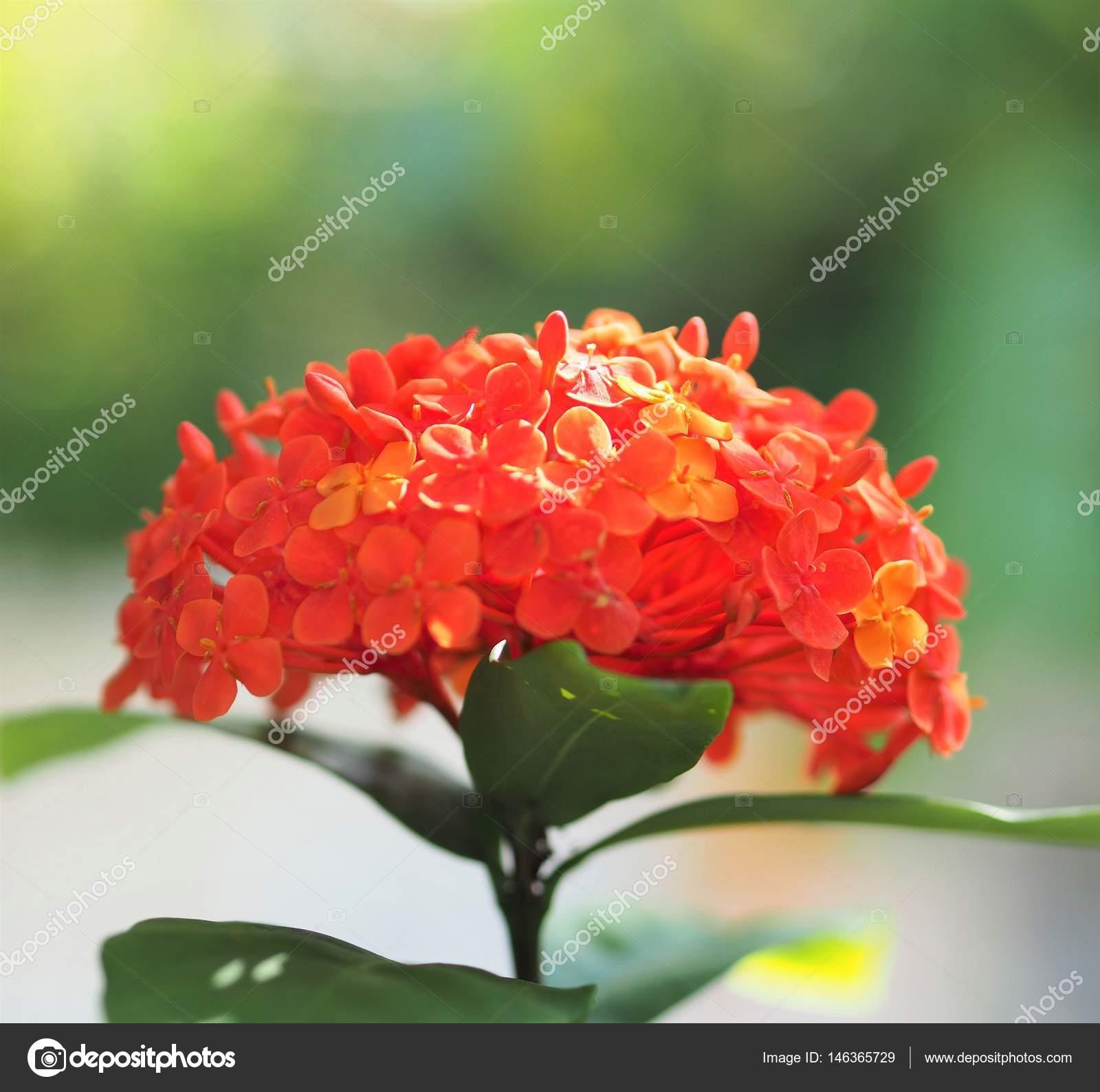 Suficiente Flor de flor vermelha Ixora Coccinea — Stock Photo © WernBkk  FH58