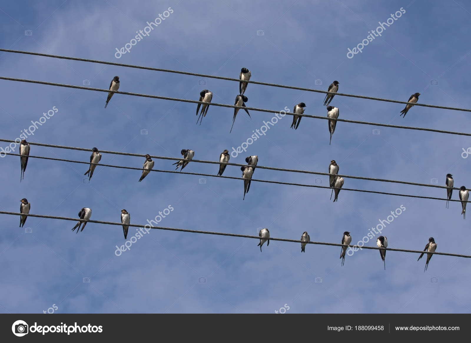 Many Swallows Sitting Wires Barn Swallow Hirundo Rustica — Stock ...