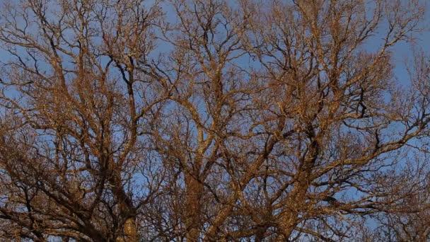 Starý dub bez listí v zimě. Dub obecný nebo dub evropský (Quercus robur).