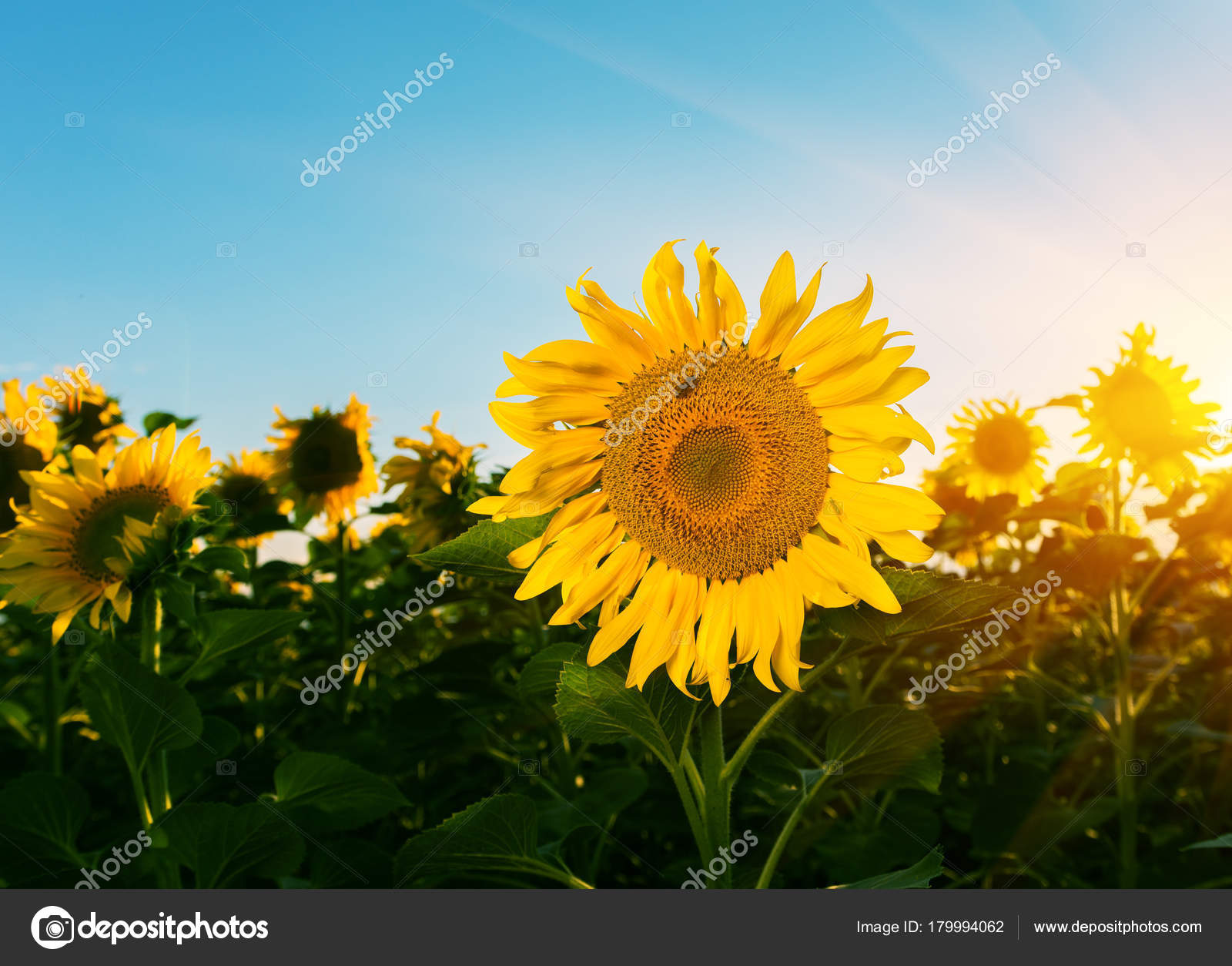Beautiful Sunflowers In The Field Natural Background Sunflower