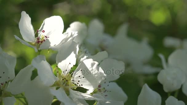 Kvetoucí Apple makro přeměnu slunečního záření na růžičky. Rozmazaném pozadí zelené skvrny Bokeh