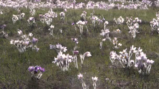 Az első virágok, háttérben a nyírfa tavaszi rét.