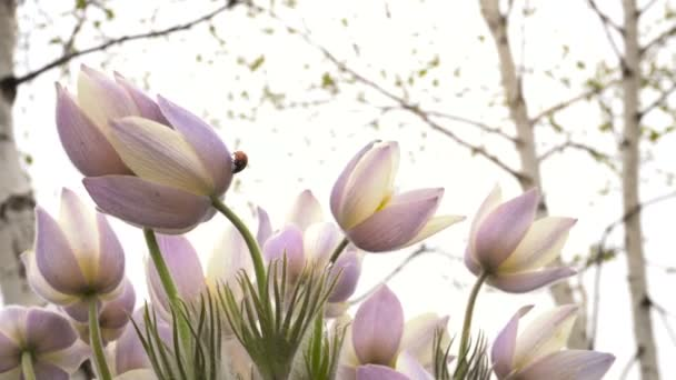 Beetle coccinella su fiori di primavera Close-Up
