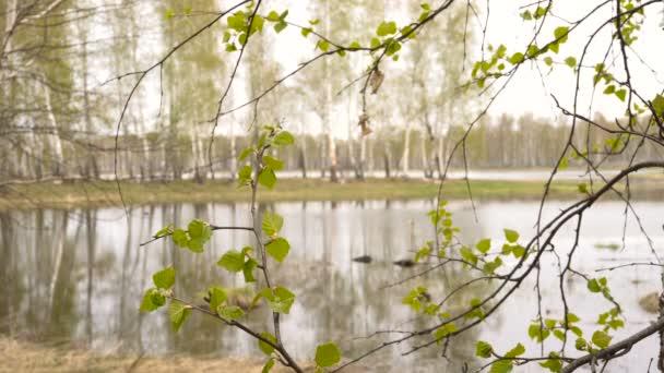 Jarní krajina v lese lesní jezero jemné březová listí v popředí