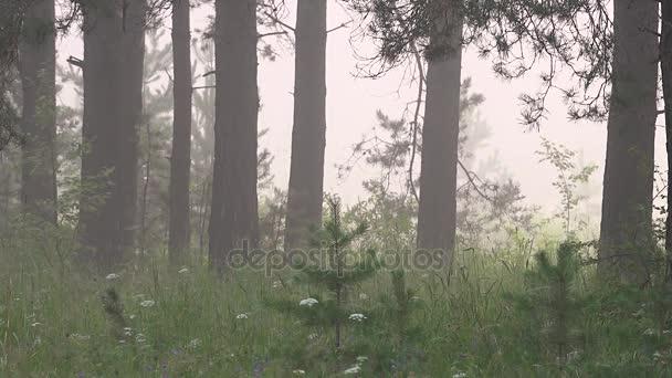 Fenyves erdő a ködben a Hajnal-táj