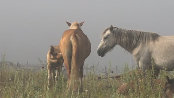 Horses With Foals Rest on Grazing on a Misty Summer Morning