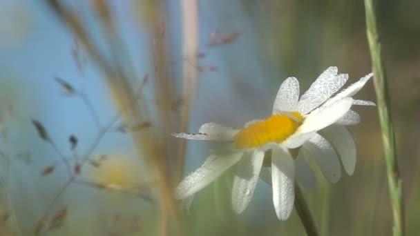 Letní louka trávy Daisy v kapkách Rosy