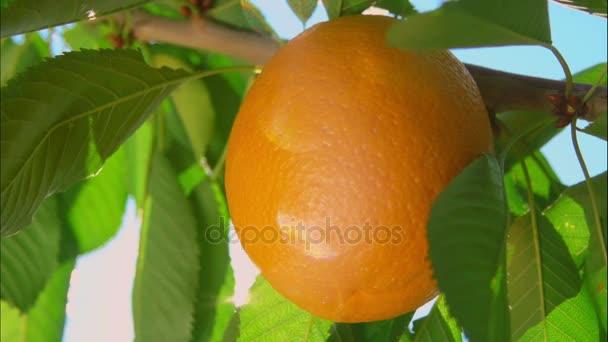 ray of sunshine through the ripe oranges
