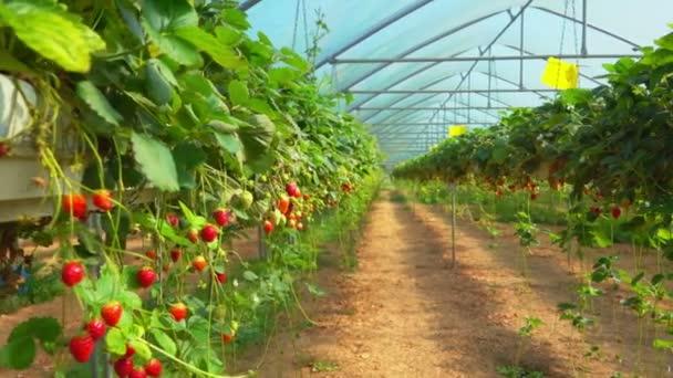 Jahody v plantation