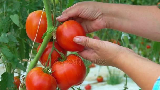 Hand nimmt eine Tomate aus einem Busch