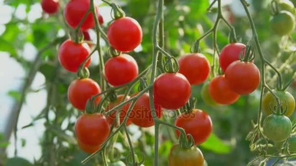 cherry rajčátka, zrání na bush