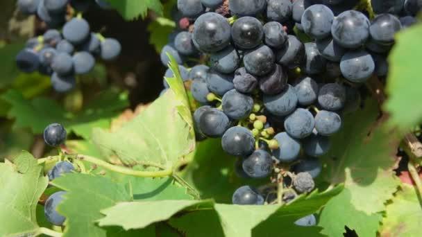 Panoráma-érett szőlő az ágak