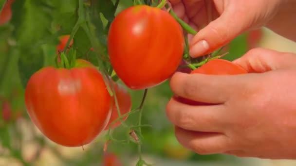 Ernte reifer Tomaten in einem großen Gewächshaus