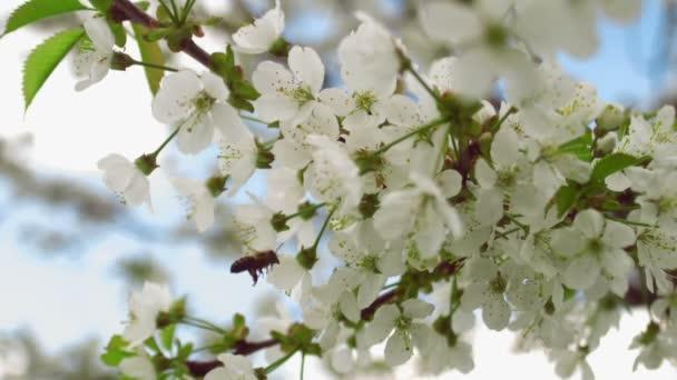 Bee repülő gyűjtése pollen cseresznyefa