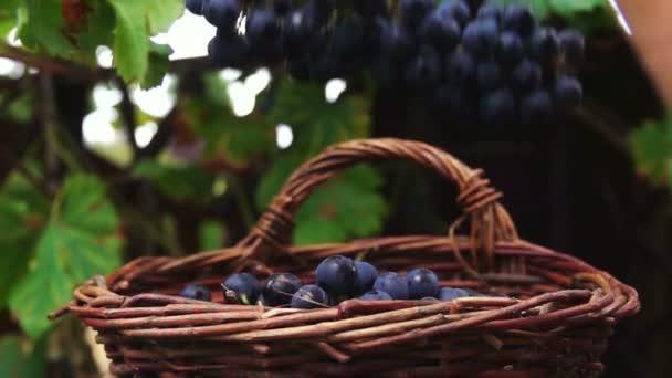 A kosárba tartozó szőlőfürt