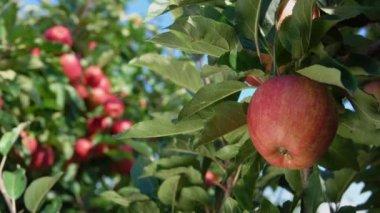Branch of ripe apples in the garden