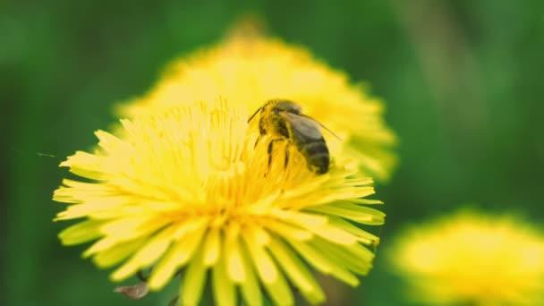 včela sbírá pyl Pampeliška