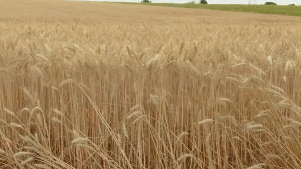 Flying along a wide field of ripe wheat