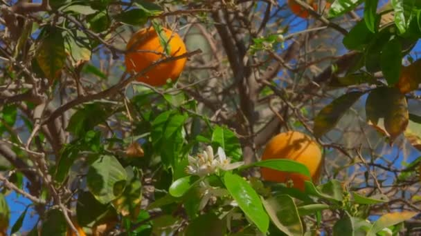 Orange tree with ripe fruits on the branches