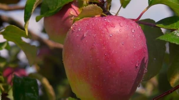 Dešťové kapky padající na zralé jablko na větvi stromu