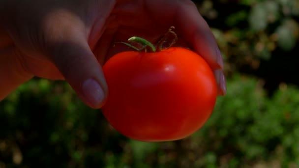 Ruka klade zralé šťavnaté rajče v dřevěné krabici