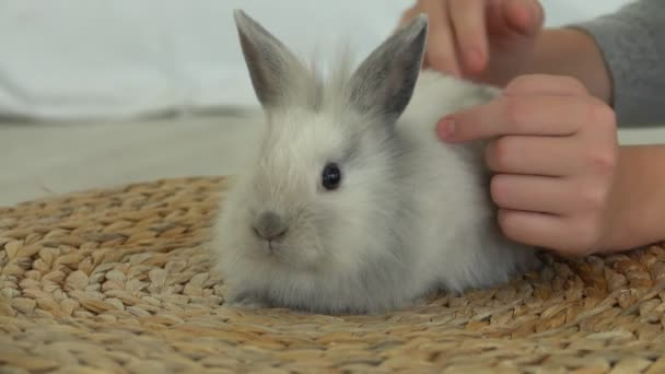 Childs hand is caressing tenderly a cute grey fluffy rabbit