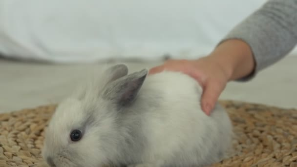 Childs hand is caressing tenderly a grey fluffy little rabbit