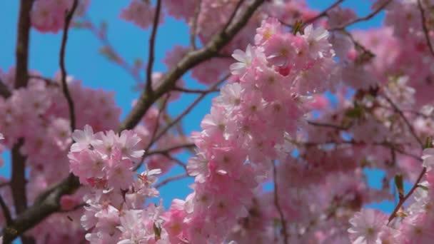 Detailní záběr na třešňové květy na slunečný den s modrou oblohou