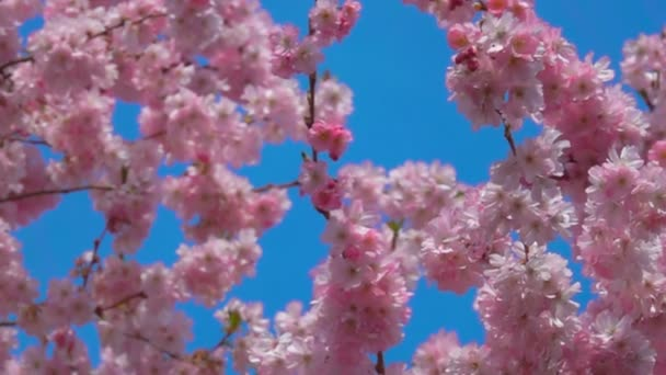Vítr fouká přes třešňové květy v slunečný jarní den