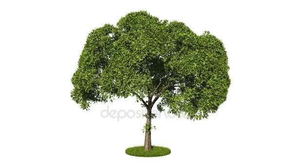 3D vykreslování smyčku realistické Zelený strom