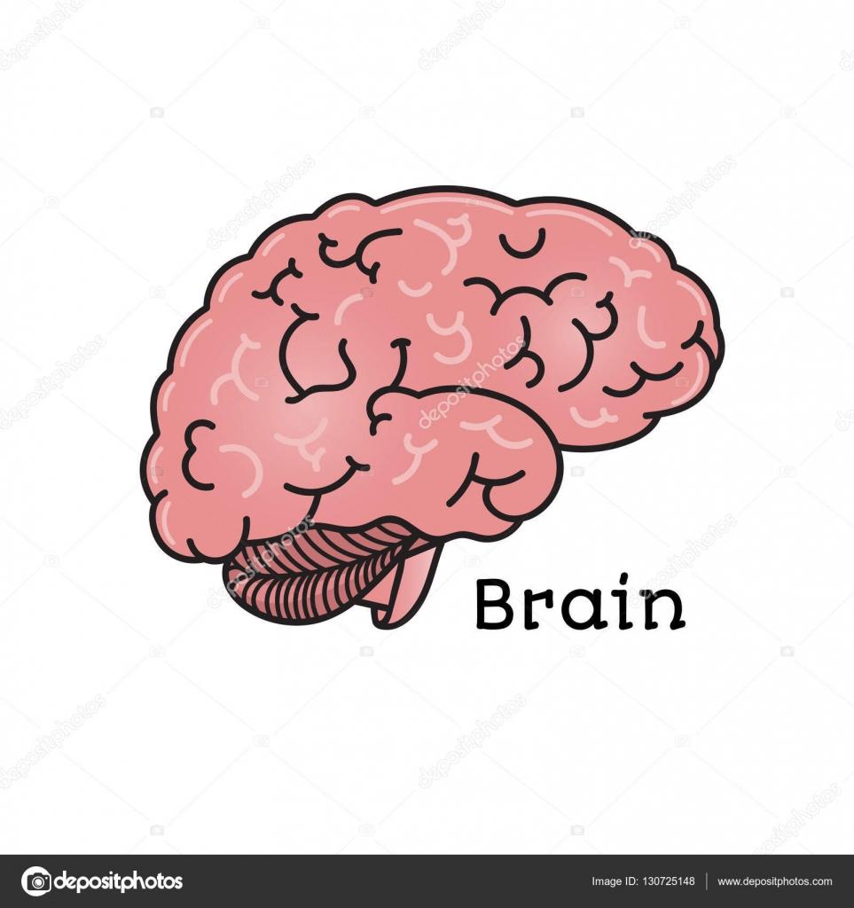Cerebro humano, Ilustración de vectores anatómica aislada — Vector ...