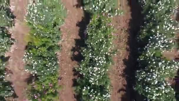 People picking fresh pink roses. Aerial view.