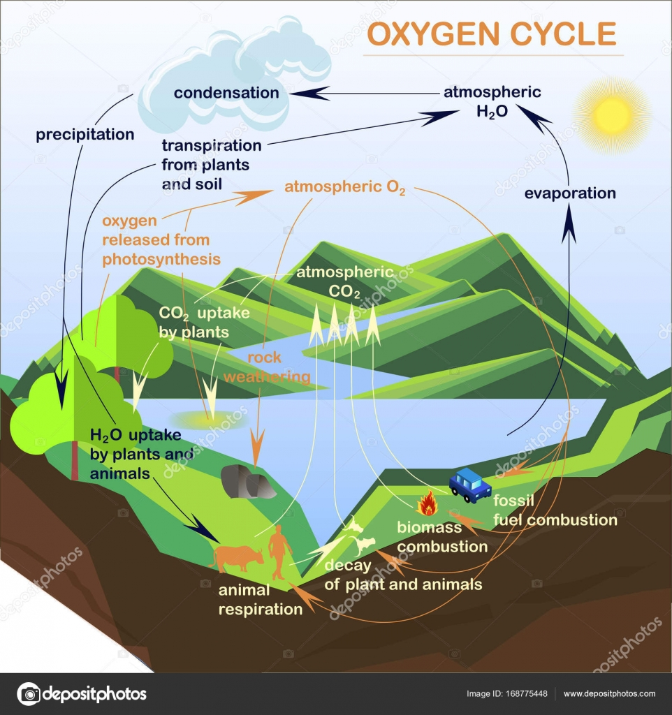 Oxygen Cycle Diagram